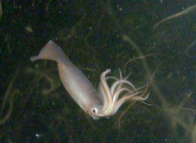 Humboldtsquid