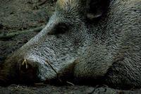 Pig_wentuq