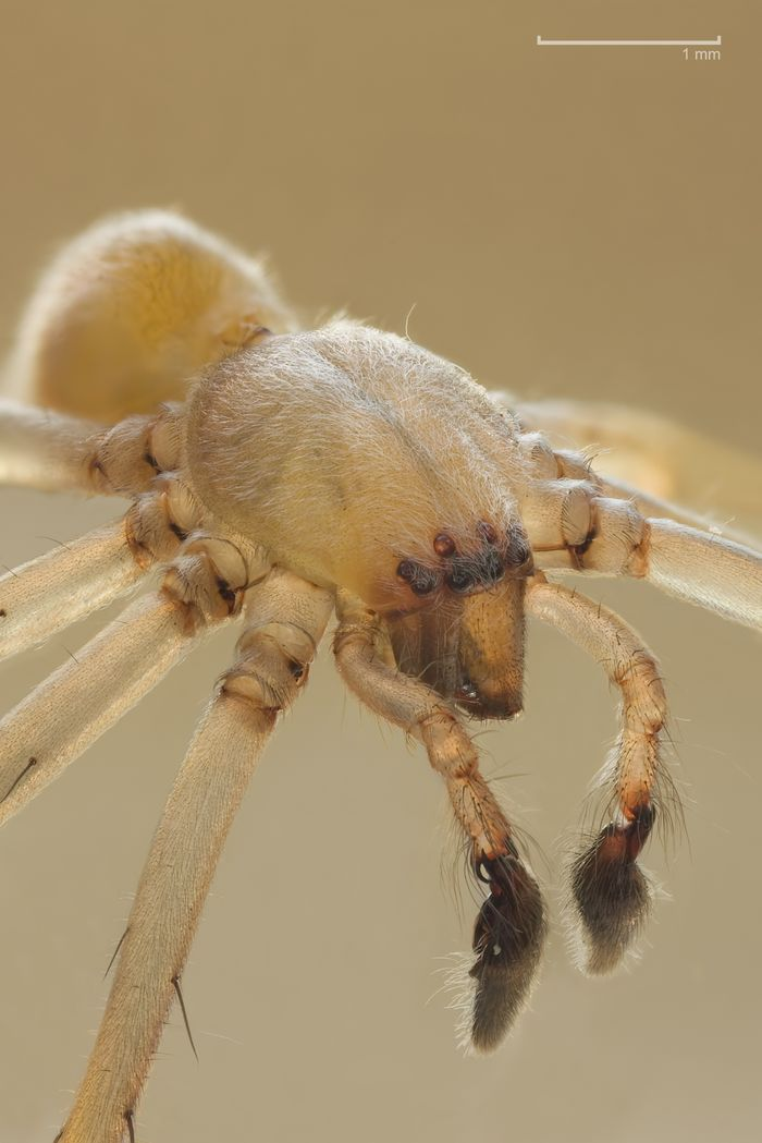 Spider_yellow sac_Wikipedia