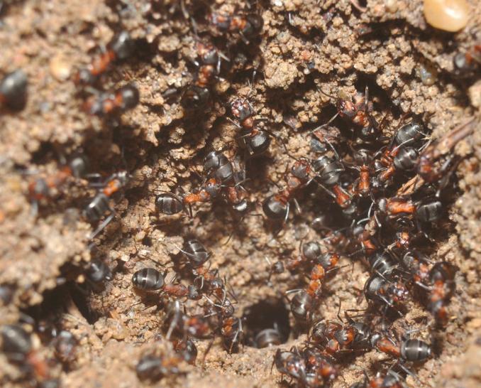 Polish mutant ants