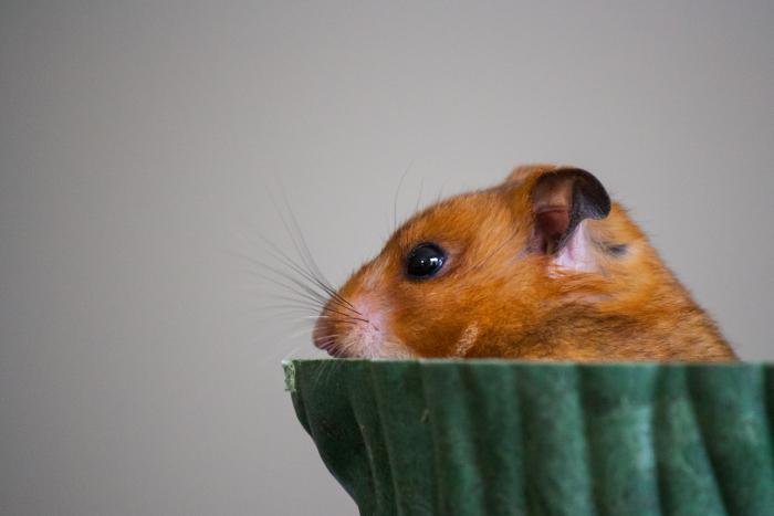 Hamster Derek Bruff