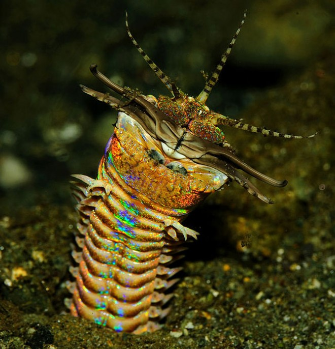 Bobbit worm-660x686 Wired